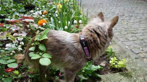 Chihuahua Gipsy trägt das pinke DipthDesign Hundehalsband