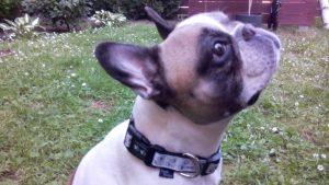 Frenchie Molly mit ihrem Pfotenhalsband in creme weiß