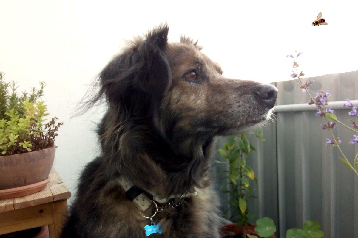 DipthDesign Hundehalsband Shop - Honig und Propolis für Hunde