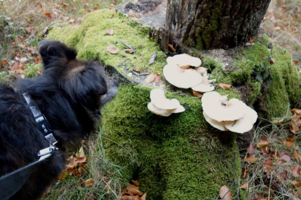 Welche Pilze dürfen Hunde fressen